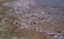 Jutaan Ikan Terdampar di Pantai Ancol