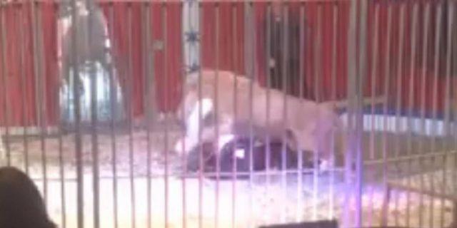 Singa Sirkus Ini Serang Pawangnya di Hadapan Ratusan Penonton